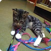 Domestic Shorthair Kitten for adoption in Manhattan, Kansas - Midge