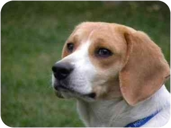 Beagle Dog for adoption in Oak Forest, Illinois - Bones