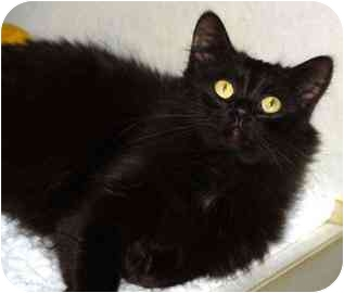 Domestic Mediumhair Cat for adoption in Walker, Michigan - Snickers
