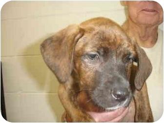 Plott Hound/Labrador Retriever Mix Puppy for adoption in Old Bridge, New Jersey - Gael