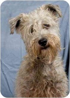 Schnauzer (Miniature) Mix Dog for adoption in Anna, Illinois - OPIE