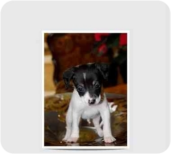 Chihuahua Mix Puppy for adoption in San Diego, California - Moe