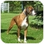 Photo 2 - Boxer Dog for adoption in Arlington Heights, Illinois - Sweetheart