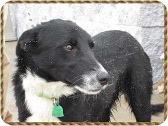 Border Collie/Labrador Retriever Mix Dog for adoption in Boulder, Colorado - Adorable Sam