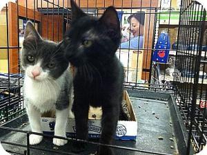 Domestic Shorthair Kitten for adoption in Cranford/Rartian, New Jersey - Caroline