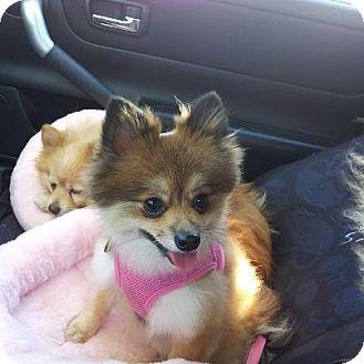 Pomeranian Dog for adoption in Hesperus, Colorado - TINKERBELLE