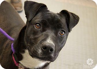 Pit Bull Terrier Mix Dog for adoption in Gardnerville, Nevada - Tasha