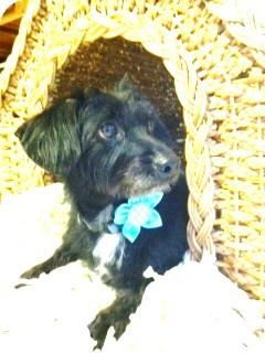Dachshund Mix Dog for adoption in Miami, Florida - Cassie