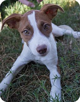 Shepherd (Unknown Type)/Pit Bull Terrier Mix Puppy for adoption in Pilot Point, Texas - REBA