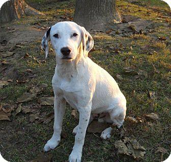 Dalmatian Mix Dog for adoption in Centerville, Tennessee - Bingo