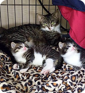 Domestic Shorthair Kitten for adoption in Henderson, North Carolina - Binky & 3 Babies