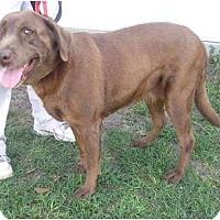 Adopt A Pet :: Brandy - Jacksonville, FL