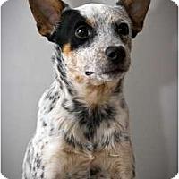 Adopt A Pet :: Cody - Siler City, NC