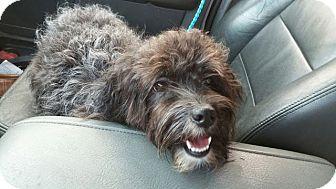 Poodle (Miniature) Mix Dog for adoption in Miami, Florida - Sandy