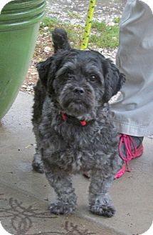 Shih Tzu/Schnauzer (Standard) Mix Dog for adoption in Marseilles, Illinois - Maxwell