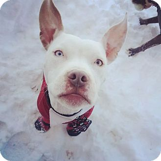 American Pit Bull Terrier Mix Puppy for adoption in Portland, Oregon - Boston