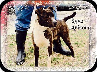 Labrador Retriever/Bull Terrier Mix Dog for adoption in Dillon, South Carolina - Arizona