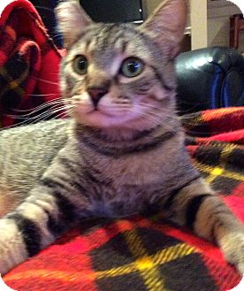 Domestic Shorthair Cat for adoption in Beaufort, South Carolina - Luca