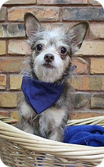 Terrier (Unknown Type, Small) Mix Dog for adoption in Benbrook, Texas - Boudreax