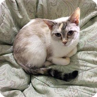 Siamese Cat for adoption in Fitchburg, Wisconsin - Cassandra
