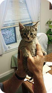 Domestic Shorthair Kitten for adoption in Media, Pennsylvania - Big Boy (Christmas Kittens)