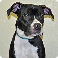 Adopt A Pet :: Orson - Port Washington, NY