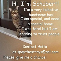 Domestic Mediumhair Cat for adoption in St. Cloud, Florida - Schubert