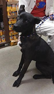 Labrador Retriever Mix Dog for adoption in Amarillo, Texas - Bolt