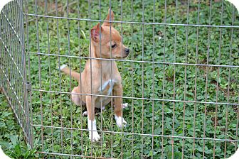 Chihuahua Mix Puppy for adoption in Wilminton, Delaware - Levi