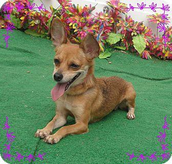 Chihuahua Dog for adoption in Marietta, Georgia - KANDY (R)