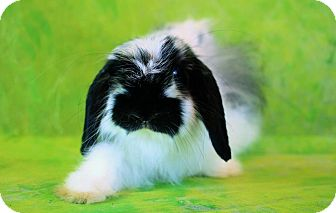 American Fuzzy Lop for adoption in Wilmington, North Carolina - Panda