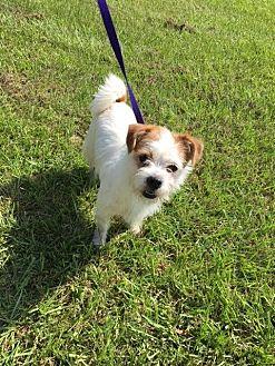 Shih Tzu/Westie, West Highland White Terrier Mix Dog for adoption in Baton Rouge, Louisiana - Ernie