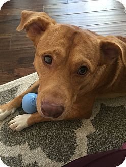 Labrador Retriever Mix Puppy for adoption in Brattleboro, Vermont - Tucker