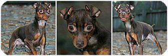 Miniature Pinscher/Terrier (Unknown Type, Small) Mix Dog for adoption in Forked River, New Jersey - Kiwi