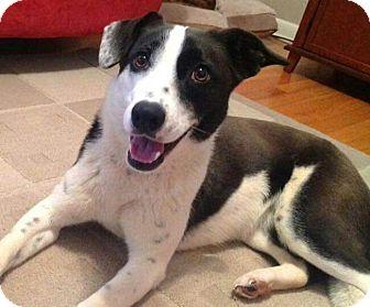 Border Collie/Cattle Dog Mix Dog for adoption in Staunton, Virginia - Star