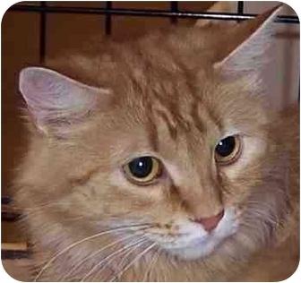 Domestic Mediumhair Cat for adoption in Tucson, Arizona - Thanksgiving