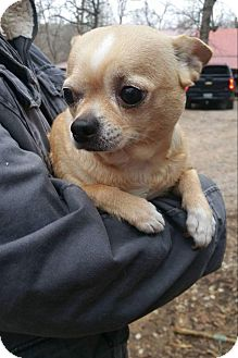 Chihuahua Dog for adoption in Crump, Tennessee - Lovey