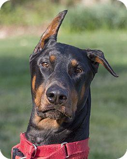 Doberman Pinscher Dog for adoption in Oxford, Pennsylvania - Braxton