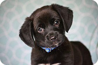 Beagle/Labrador Retriever Mix Puppy for adoption in Bedminster, New Jersey - Finley