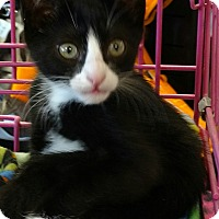 Domestic Shorthair Kitten for adoption in Randolph, New Jersey - J.B. - awesome kitten