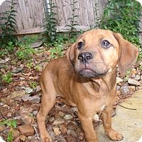 Adopt A Pet :: VenuS - LAKEVILLE, MA