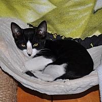 Adopt A Pet :: Sylvester - Tampa, FL