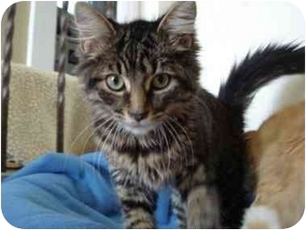 Domestic Mediumhair Kitten for adoption in Toronto, Ontario - Roger