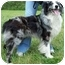 Photo 3 - Australian Shepherd Dog for adoption in North Judson, Indiana - Buck