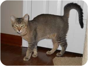Abyssinian Cat for adoption in McDonough, Georgia - Rickie Tickie