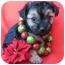Photo 1 - Schnauzer (Miniature)/Poodle (Miniature) Mix Puppy for adoption in Irvine, California - St. Nick