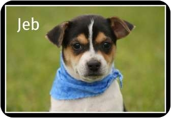 Rat Terrier Mix Puppy for adoption in Glastonbury, Connecticut - Jeb