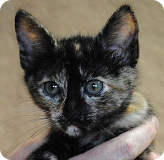 Domestic Shorthair Kitten for adoption in Weatherford, Texas - Picasso