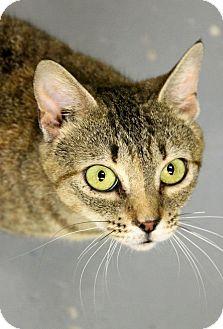 Ocicat Cat for adoption in Farmington, Michigan - Birdy: 1 year