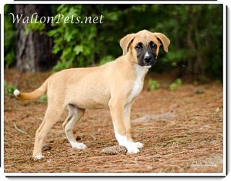 Black Mouth Cur Mix Puppy for adoption in Largo, Florida - Angel